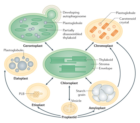 plastidtypes jarvis lab figure 1