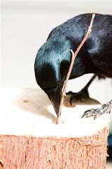 Behavioural Ecology Research Group - Crow Research - Introduction